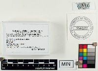 Armillaria cepistipes image