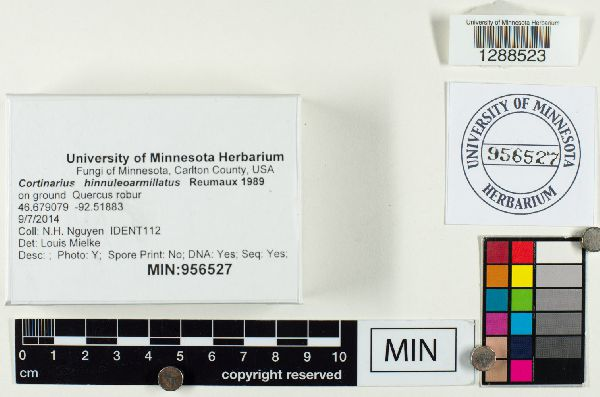 Cortinarius hinnuleoarmillatus image