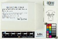 Inocybe pyriodora image