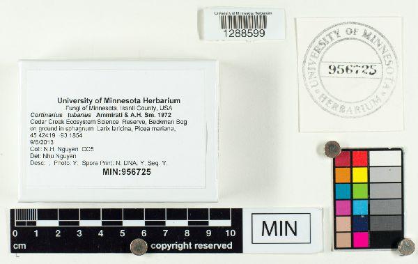Cortinarius tubarius image