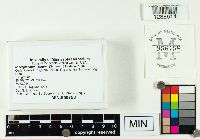 Microglossum rufum image