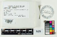 Lactarius affinis image