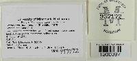 Tricholoma inamoenum image