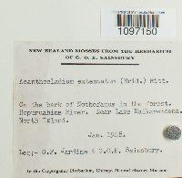 Acanthocladium extenuatum image