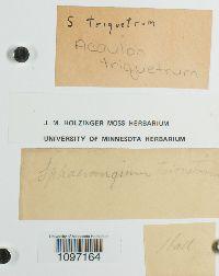 Acaulon triquetrum image