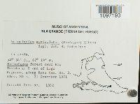 Acrocladium auriculatum image
