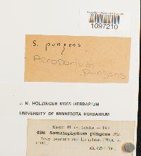 Acroporium pungens image