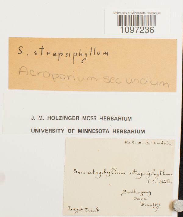 Acroporium secundum image