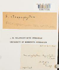 Image of Acroporium secundum