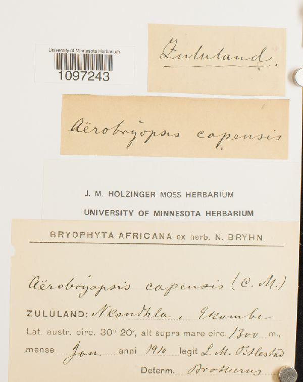 Aerobryopsis capensis image