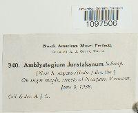 Amblystegium juratzkanum image