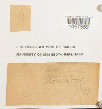 Amblystegium serpens image