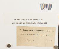 Amphidium tortuosum image