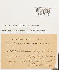 Anacolia menziesii image
