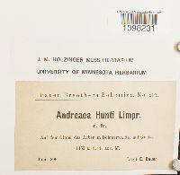 Andreaea rothii var. papillosa image