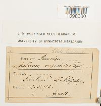 Andreaea rupestris image