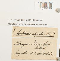 Andreaea alpestris image