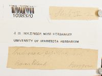 Andreaea rupestris var. papillosa image