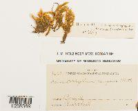 Image of Acroporium pungens