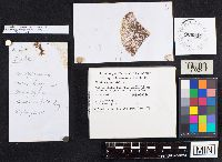 Image of Suillus spectabilis