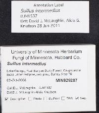Suillus intermedius image