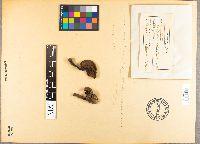 Image of Heimioporus retisporus