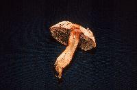 Agaricus haemorrhoidarius image