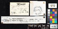 Agaricus diminutivus image