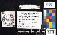Alpova diplophloeus image