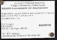 Amanita brunnescens var. brunnescens image