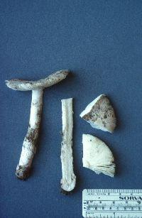 Image of Amanita constricta