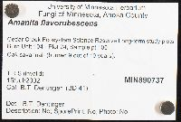 Amanita flavorubescens image