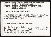 Amanita flavoconia image