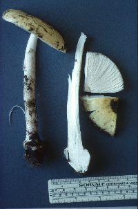 Image of Amanita gemmata