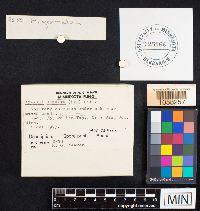 Amanita gemmata image