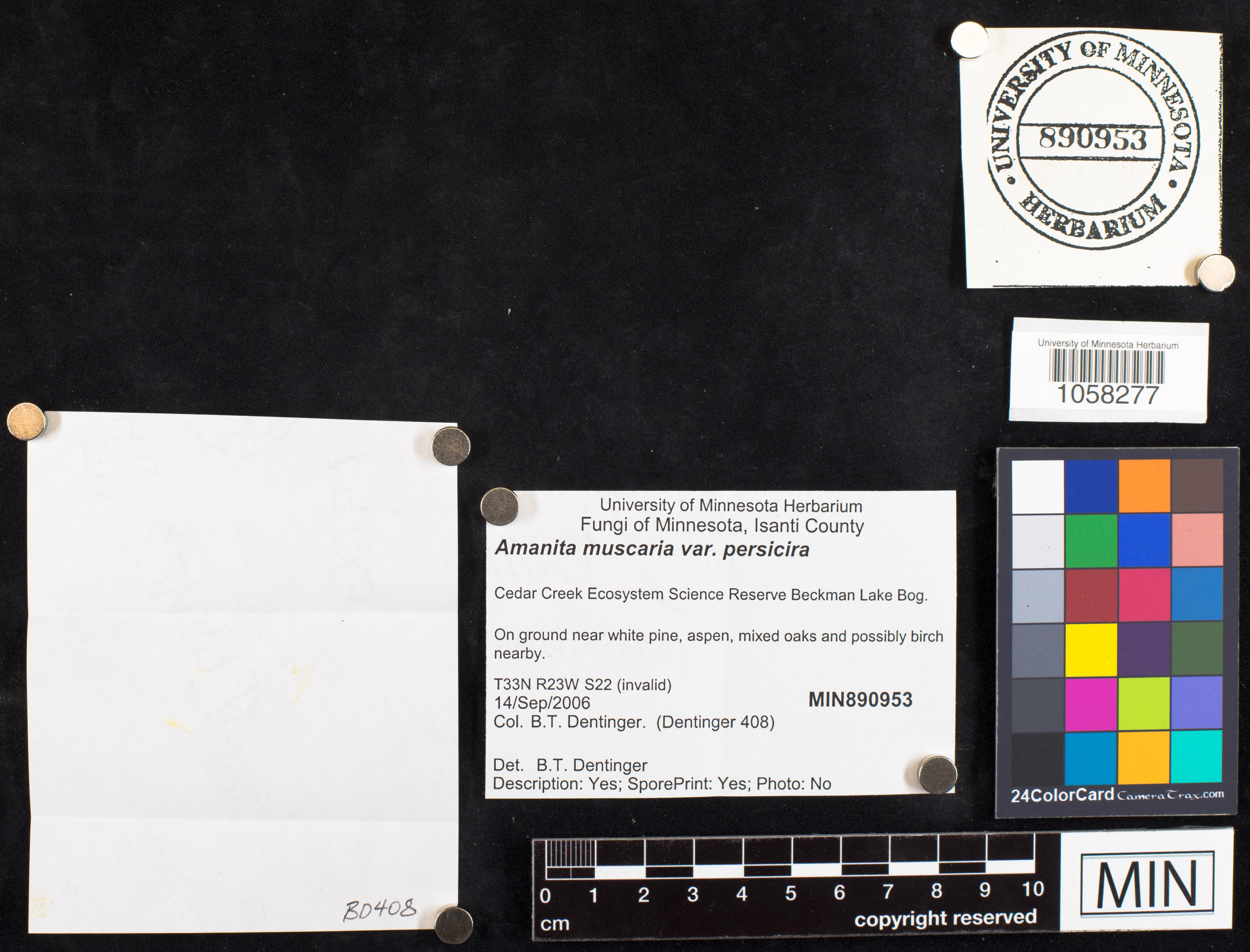 Amanita muscaria var. persicina image