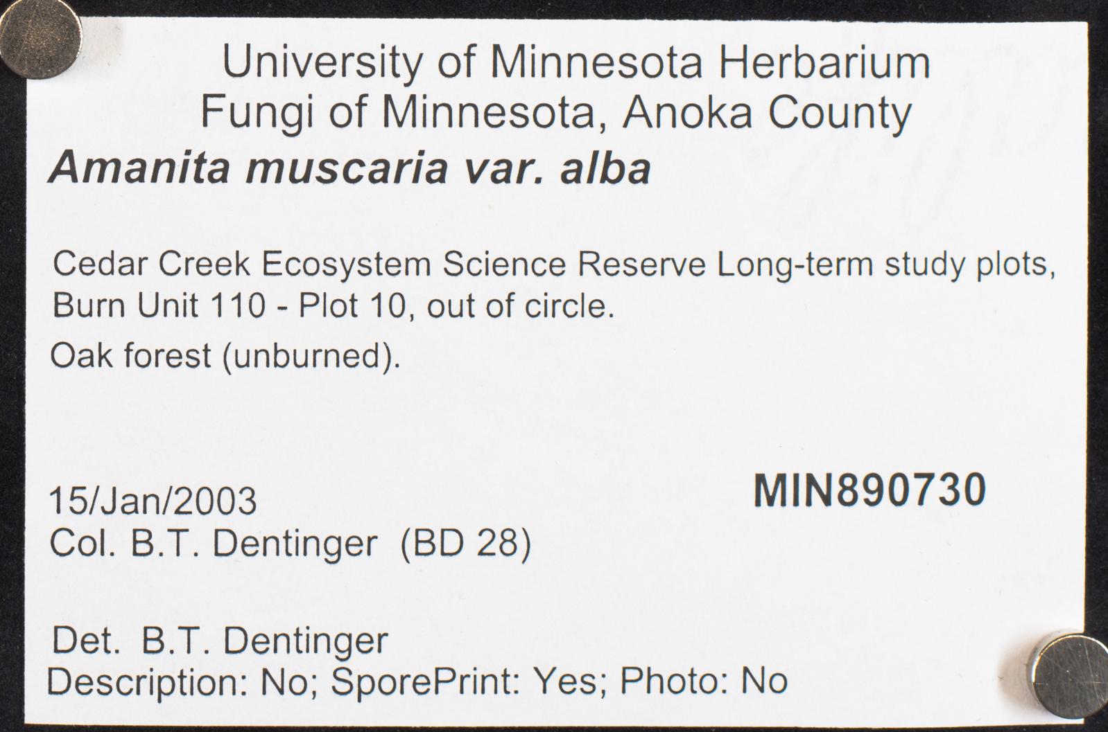 Amanita muscaria var. alba image