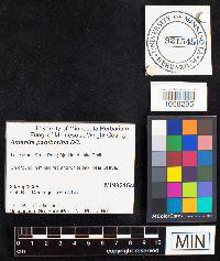 Amanita pantherina image
