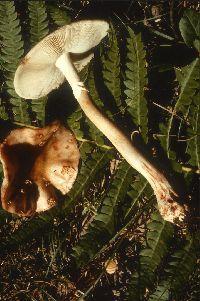 Amanita rubescens image