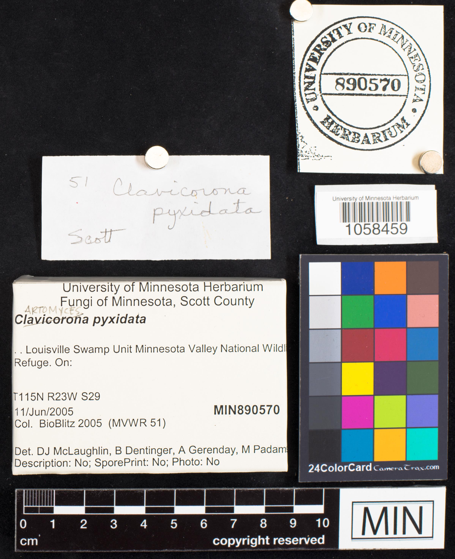 Auriscalpiaceae image