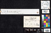 Artomyces pyxidatus image