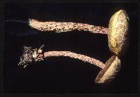 Image of Boletellus russellii