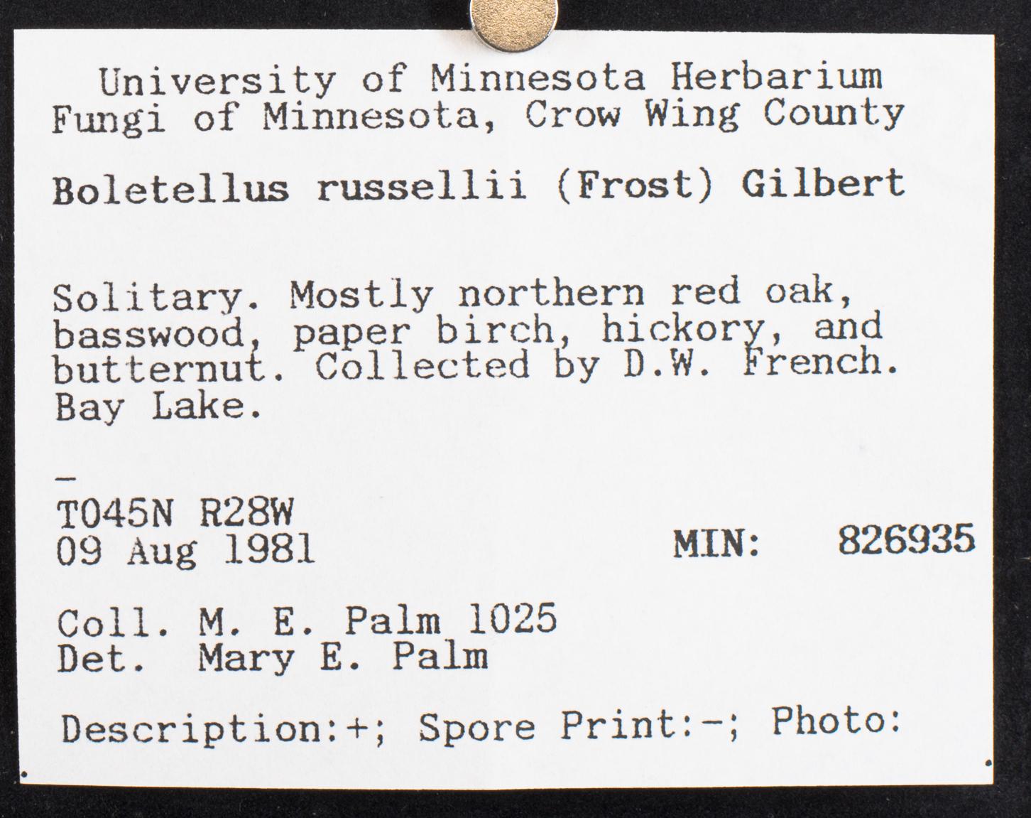 Boletellus russellii image