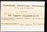 Boletopsis subsquamosa image