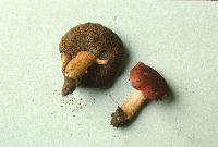 Image of Boletus fraternus