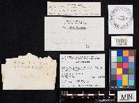 Boletus pulverulentus image