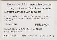 Boletus variipes var. fagicola image