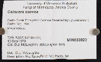 Calocera cornea image