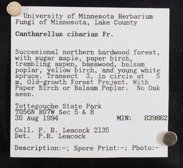 Cantharellus cibarius image