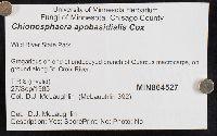 Chionosphaera apobasidialis image